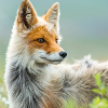 Frostic Fox